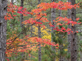 Michigan  Upper Peninsula Fall Foliage and Pine Trees in the Forest