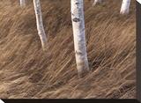 Birch Breeze