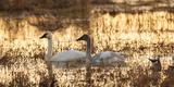 USA  Oregon  Baskett Slough Nwr  Tundra Swans (Cygnus Columbianus)