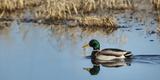 USA  Washington  Ridgefield Nwr  Mallard (Anas Plathyrhynchos) Drake
