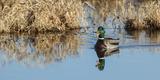 USA  Washington  Ridgefield Nwr  Mallard Drake Quacking