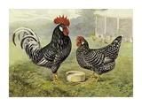 Chickens: Anconas