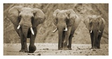 Elephants walking through Desert