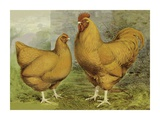 Chickens: Buff Orpingtons