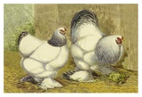 Chickens: Light Brahmas