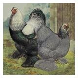 Chickens: Dark Brahmas