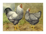 Chickens: Silver Laced Wyandottes