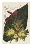 Begonia Varieties II