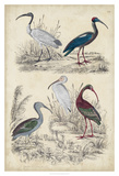 Ibis Family