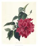 Rose Hibiscus I
