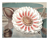Vintage Water Lily III