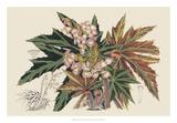 Begonia Varieties I