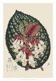 Begonia Varieties III