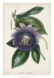 Plum Passion Flower