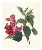 Rose Hibiscus II