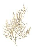 Gold Foil Algae II Reproduction d'art par Jennifer Goldberger