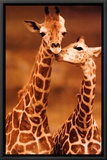 Giraffe  First Love