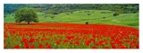 Tree in a field of poppies  Italy