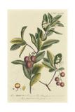 Miller Foliage and Fruit I