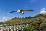 A Close Up of a Black-Browed Albatross in Flight on Steeple Jason Island in the Falkland Islands