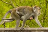 A Long-Tailed or Crab-Eating Macaque  Macaca Fascicularis  Carrying Her Baby on Her Chest