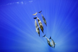 Spinner Dolphins  Stenella Longirostris  Swim in Waters Off Oahu  Hawaii