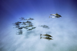 Spinner Dolphins  Stenella Longirostris  Return from Foraging to a Bay Off Oahu  Hawaii