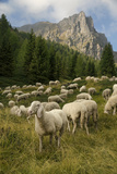 Sheep on the Road to Forcella Valmaggiore