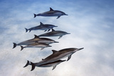 Spinner Dolphins  Stenella Longirostris  Swim in Waters Off Kona  Hawaii