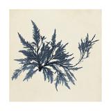 Coastal Seaweed VII