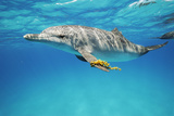 An Atlantic Spotted Dolphin Swims in the Waters Off Bimini in the Bahamas