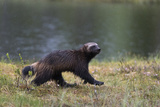 Portrait of a Wolverine  Gulo Gulo  Running in the Rain