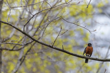A Juvenile American Robin  Turdus Migratorius  Perched on a Tree Branch