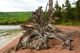 Large Driftwood Tree on the Warren Lake Beach  in Cape Breton Highlands National Park
