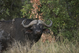 Oxpeckers on the Back of a Cape Buffalo