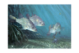 Three Snook in Mangroves  2002