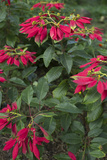 Vivid Poinsettia Plants Grow in Mudumalai
