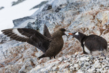 A Brown Skua Attacks a Gentoo Penguin Nest Near Port Lockroy  Antarctica