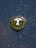 A Bullfrog  Rana Catesbeiana  Sticks its Head Out of the Water