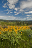 Arrowleaf Balsamroot  Lupines and Other Wildflowers Bloom  Southern Bridger Mountains  Montana