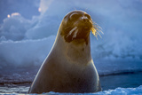 A Female Harp Seal Swims at the Iles De La Madeleine in the Gulf of Saint Lawrence