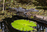 A Juvenile Crocodile in Everglades National Park