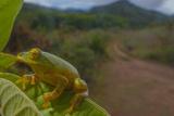 Pseudophilautus Poppiae  a Very Rare Frog from Sri Lanka
