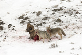 Two Coyotes  Canis Latrans  Feed on a Live Bighorn Sheep  Ovis Canadensis  That They Took Down