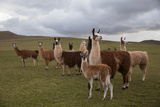 Llamas and Alpacas Grazing in the Mountains of Peru