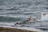 Orcas Predating on Fur Seal Pups at Punta Norte in Argentina