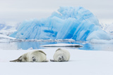 Two Crabeater Seals Lying on an Ice Floe in Grandidier Channel  Antarctica