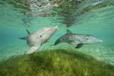 Bottlenose Dolphins Swim at the Roatan Institute for Marine Science  Roatan  Honduras