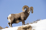 Portrait of a Bighorn Sheep  Ovis Canadensis  in a Snowy Landscape