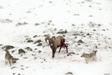 Two Coyotes  Canis Latrans  Work Together to Take Down a Bighorn Sheep  Ovis Canadensis